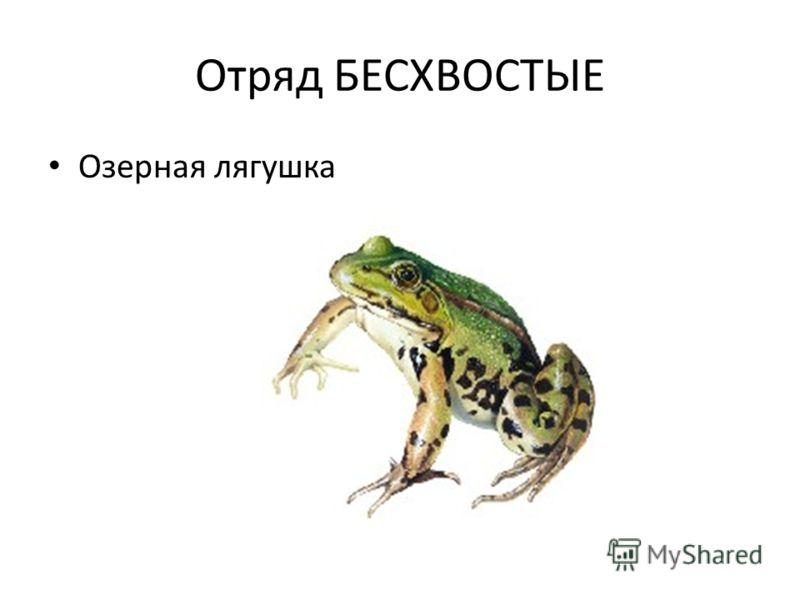 Отряд БЕСХВОСТЫЕ Озерная лягушка