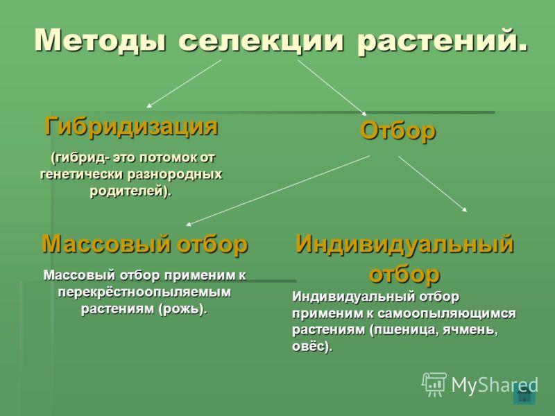 Методы селекции растений. Гибридизация (гибрид- это потомок от генетически разнородных родителей). (гибрид- это потомок от генетически разнородных родителей). Отбор Массовый отбор Массовый отбор применим к перекрёстноопыляемым растениям (рожь). Индив
