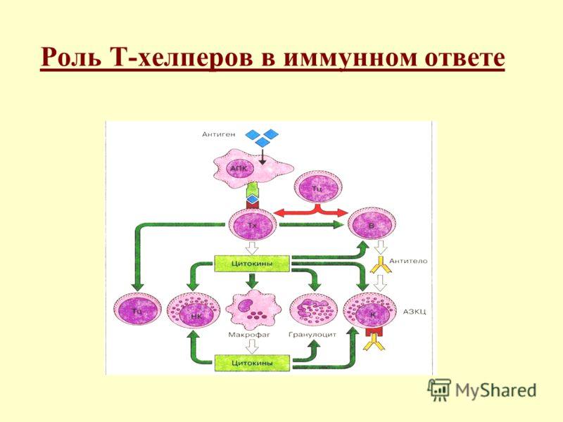 Дифференцировка Т-хелперных клеток