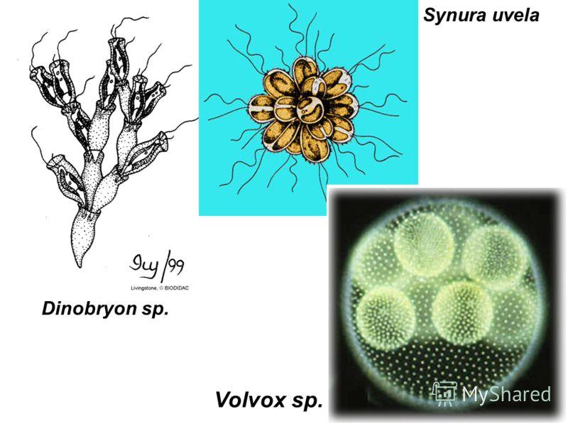 Dinobryon sp. Synura uvela Volvox sp.