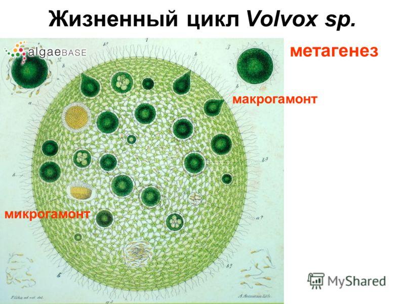 Жизненный цикл Volvox sp. макрогамонт микрогамонт метагенез