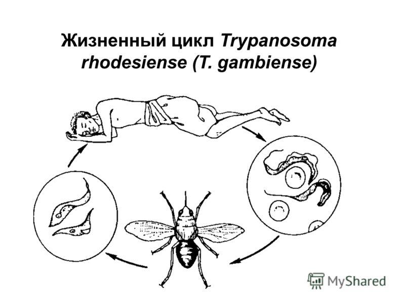 Жизненный цикл Trypanosoma rhodesiense (T. gambiense)