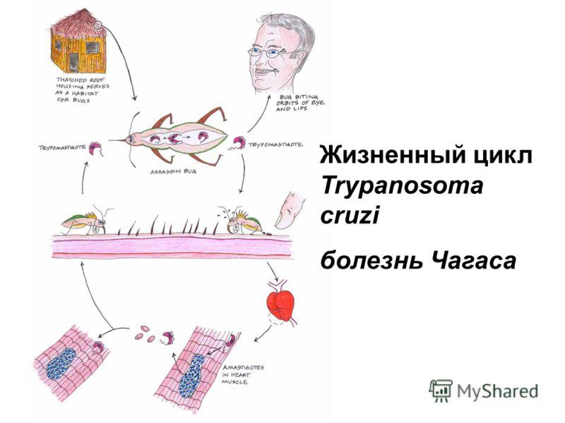 Жизненный цикл Trypanosoma cruzi болезнь Чагаса
