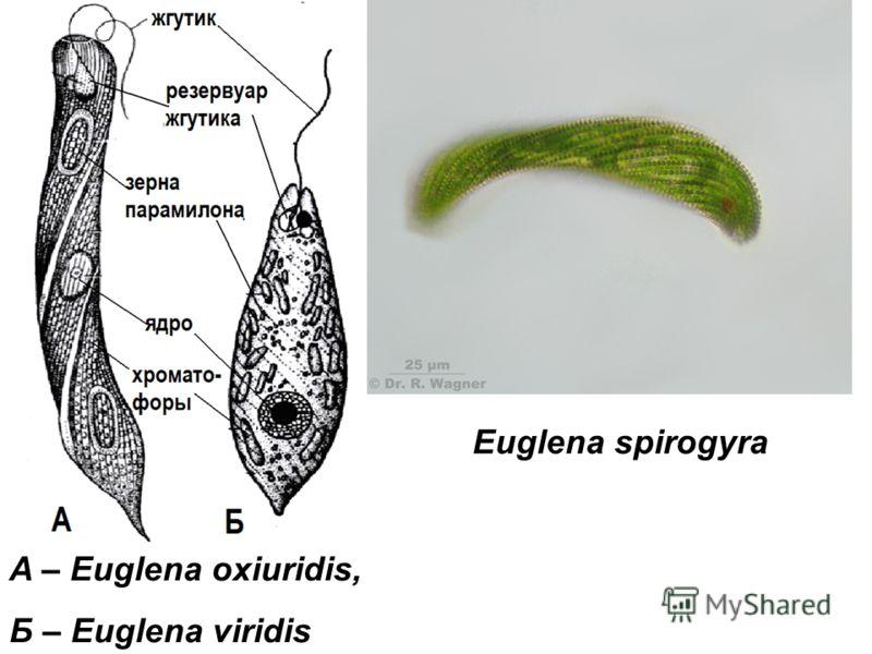 Euglena spirogyra A – Euglena oxiuridis, Б – Euglena viridis
