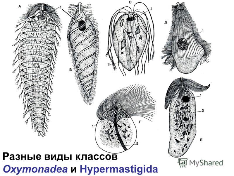 Разные виды классов Oxymonadea и Hypermastigida