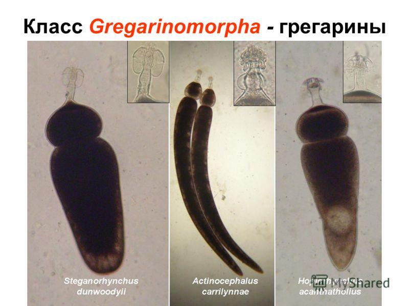 Класс Gregarinomorpha - грегарины