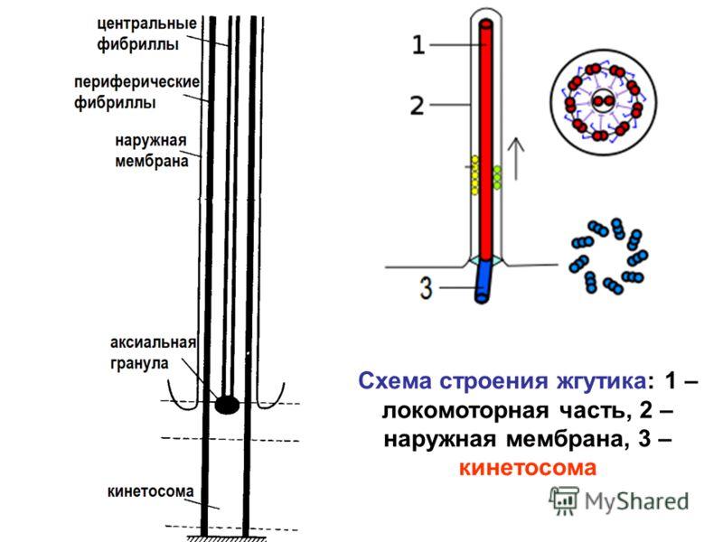 Схема строения жгутика: 1 – локомоторная часть, 2 – наружная мембрана, 3 – кинетосома