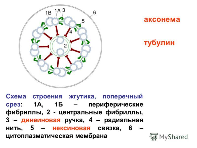 Схема строения жгутика, поперечный срез: 1А, 1Б – периферические фибриллы, 2 - центральные фибриллы, 3 – динеиновая ручка, 4 – радиальная нить, 5 – нексиновая связка, 6 – цитоплазматическая мембрана аксонема тубулин