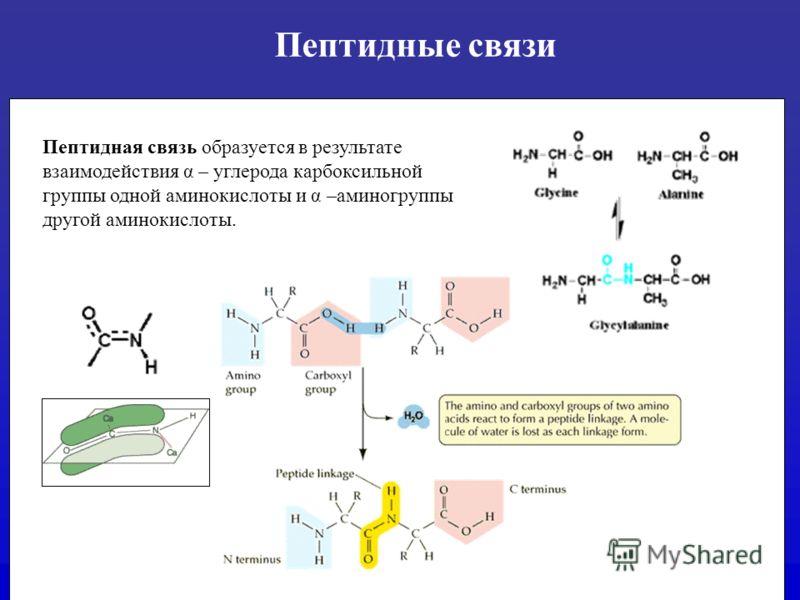 Пептидные связи Пептидная связь образуется в результате взаимодействия α – углерода карбоксильной группы одной аминокислоты и α –аминогруппы другой аминокислоты.