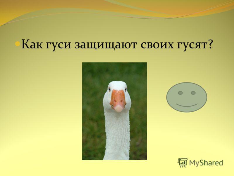 Как гуси защищают своих гусят?