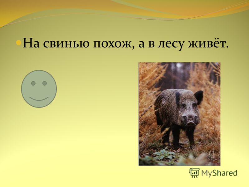 На свинью похож, а в лесу живёт.