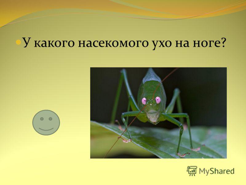 У какого насекомого ухо на ноге?