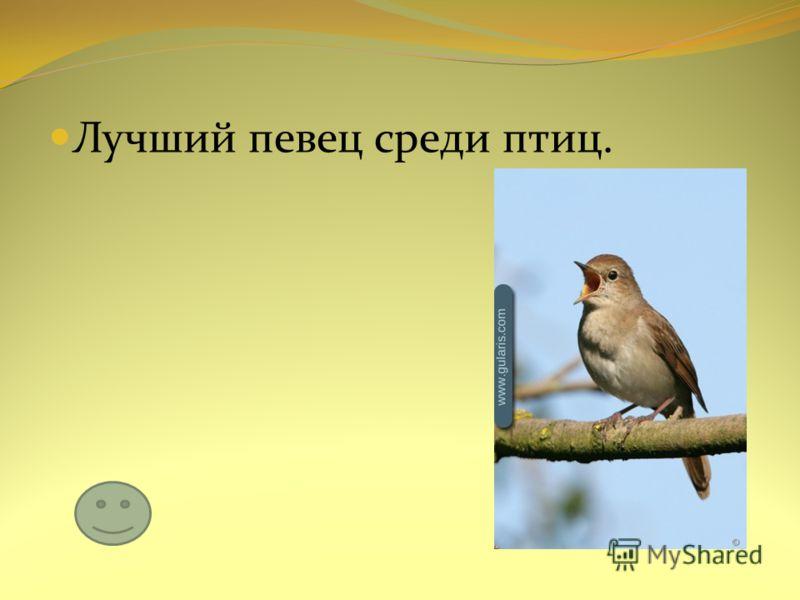 Лучший певец среди птиц.