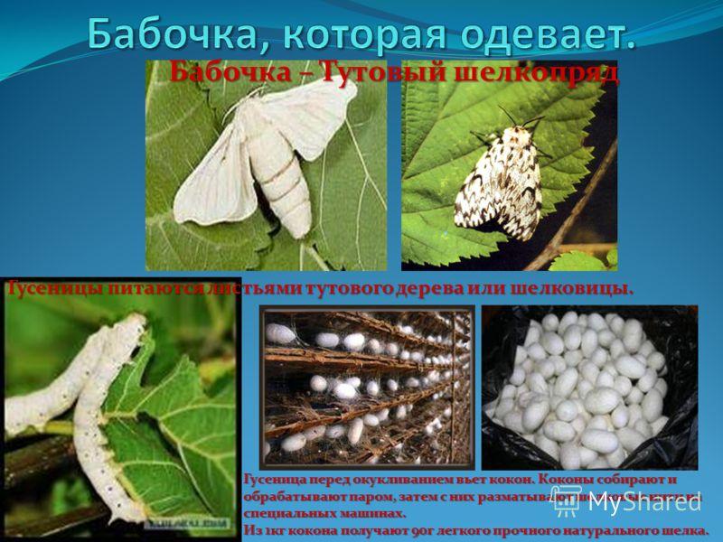 Гусеницы питаются листьями тутового дерева или шелковицы. Гусеница перед окукливанием вьет кокон. Коконы собирают и обрабатывают паром, затем с них разматывают шелковые нити на специальных машинах. Из 1кг кокона получают 90г легкого прочного натураль