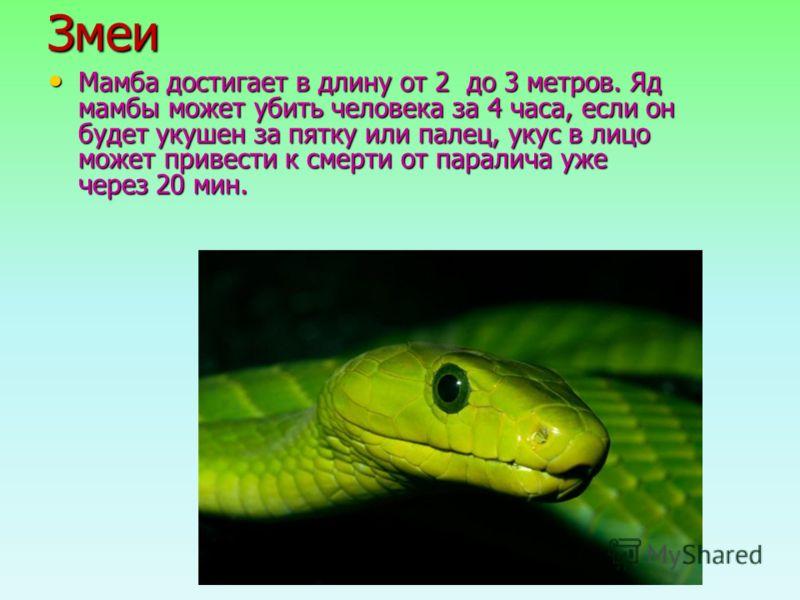 Змеи Мамба достигает в длину от 2 до 3 метров. Яд мамбы может убить человека за 4 часа, если он будет укушен за пятку или палец, укус в лицо может привести к смерти от паралича уже через 20 мин. Мамба достигает в длину от 2 до 3 метров. Яд мамбы може