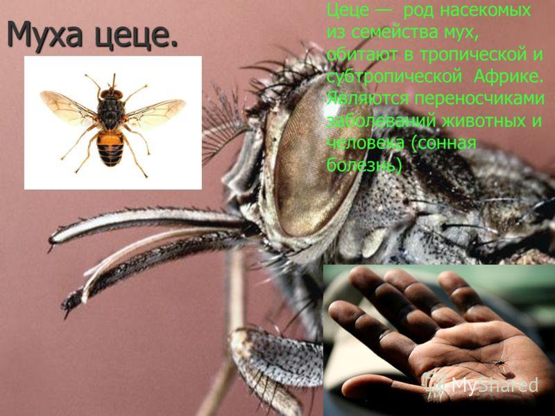 Муха цеце. Цеце род насекомых из семейства мух, обитают в тропической и субтропической Африке. Являются переносчиками заболеваний животных и человека (сонная болезнь)