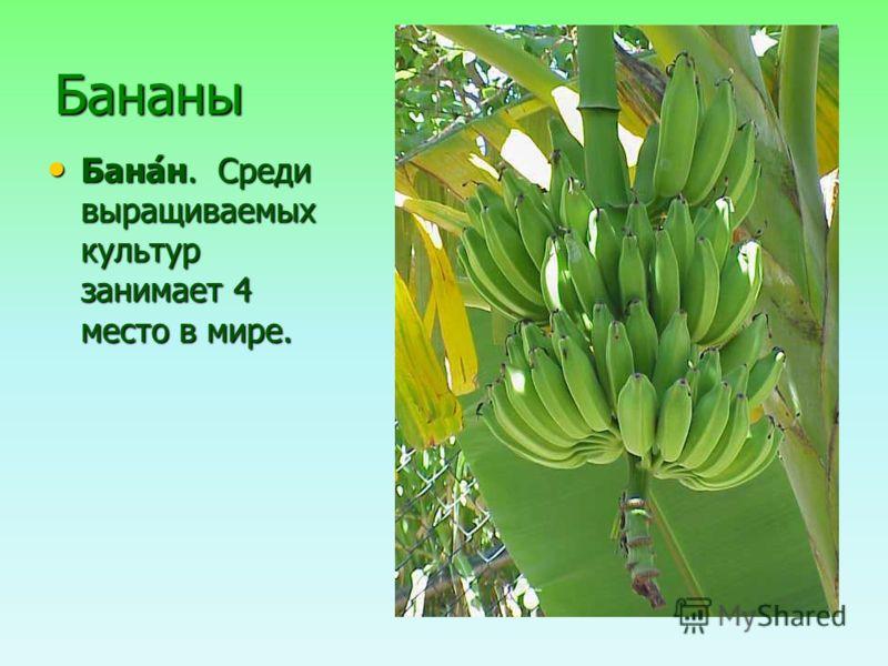 Бананы Бана́н. Среди выращиваемых культур занимает 4 место в мире. Бана́н. Среди выращиваемых культур занимает 4 место в мире.