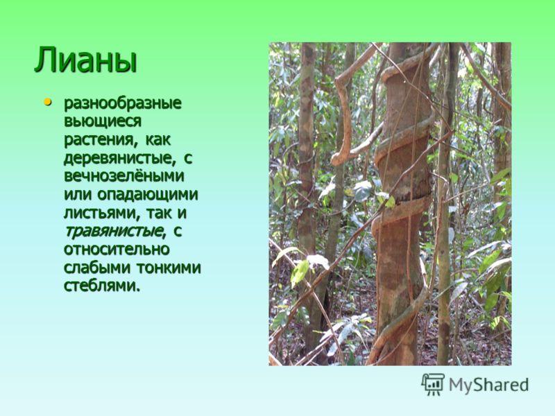 Лианы разнообразные вьющиеся растения, как деревянистые, с вечнозелёными или опадающими листьями, так и травянистые, с относительно слабыми тонкими стеблями. разнообразные вьющиеся растения, как деревянистые, с вечнозелёными или опадающими листьями,