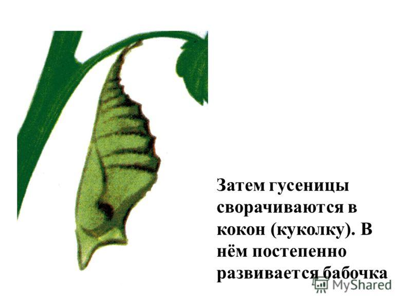 Затем гусеницы сворачиваются в кокон (куколку). В нём постепенно развивается бабочка