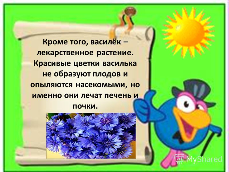 Кроме того, василёк – лекарственное растение. Красивые цветки василька не образуют плодов и опыляются насекомыми, но именно они лечат печень и почки.