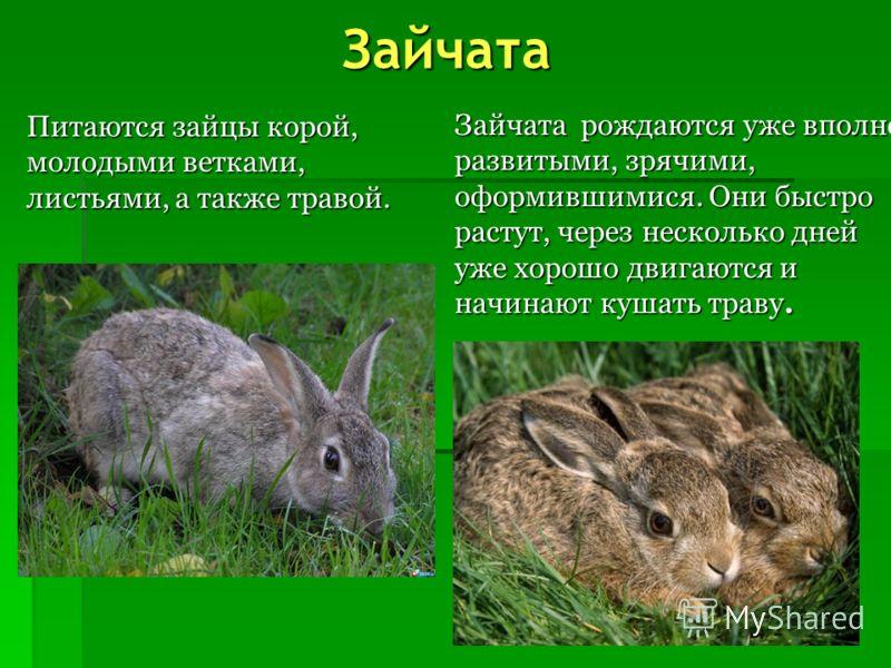 Заяц Летом заяц серовато- бурый. Зимой он почти белый, черными остаются только кончики ушей и глаза.