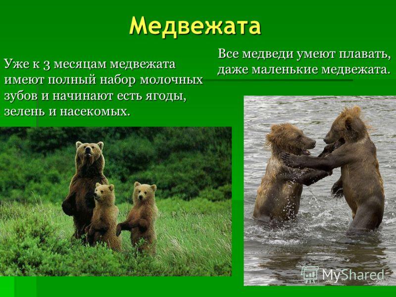 Большую часть меню  медведя составляет растительная пища: ягоды, зелень. Медведь – большой любитель рыбы. Зимой медведь спит в берлоге.