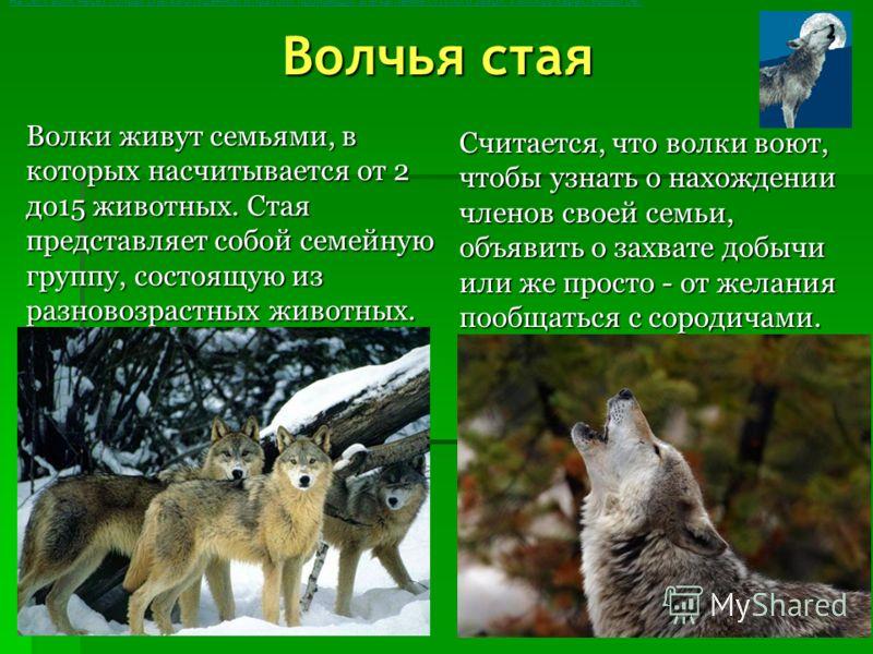 Волк Крупное и мускулистое тело, брюхо подтянуто, крепкие лапы с пальцами, расположенными тесно друг к другу, что помогает при беге и прыжках. Маленькая, аккуратная голова, но с массивным лбом. Небольшие уши, да и хвост не очень велик. Вид у волка до