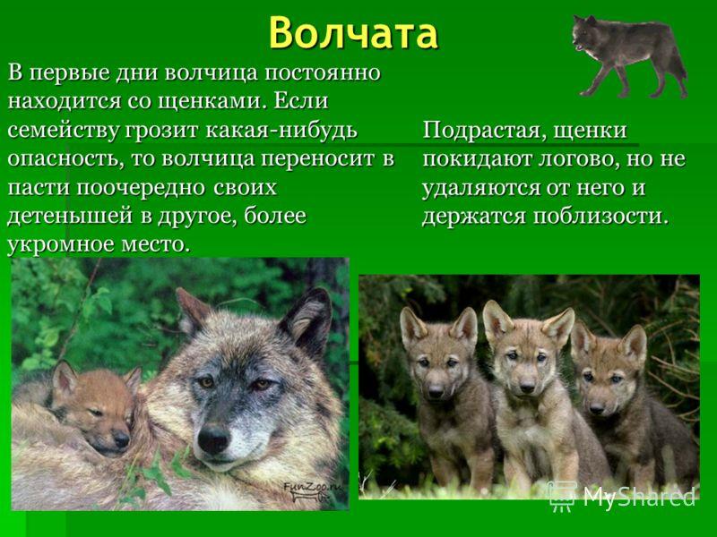 Логово волка Волки устраивают логово в укрытых, хорошо защищенных местах К логову волков трудно подойти незамеченным