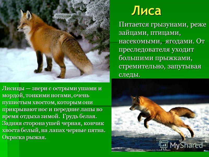 Волчата В первые дни волчица постоянно находится со щенками. Если семейству грозит какая-нибудь опасность, то волчица переносит в пасти поочередно своих детенышей в другое, более укромное место. Подрастая, щенки покидают логово, но не удаляются от не