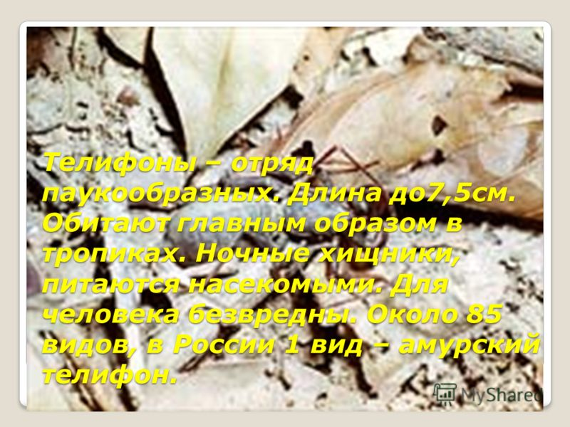 Фрины(жгутоногие пауки), отряд паукообразных. Длина до 45мм. Около 770 видов. Обитают во влажных тропических лесах. Питаются насекомыми.