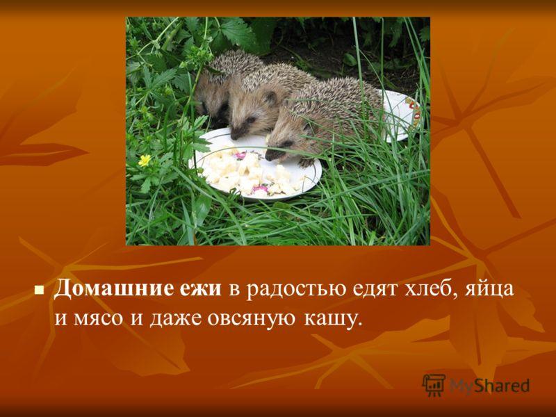 Домашние ежи в радостью едят хлеб, яйца и мясо и даже овсяную кашу.