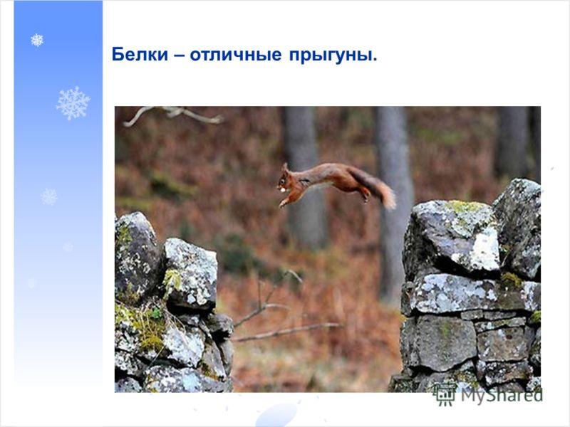Белки – отличные прыгуны.
