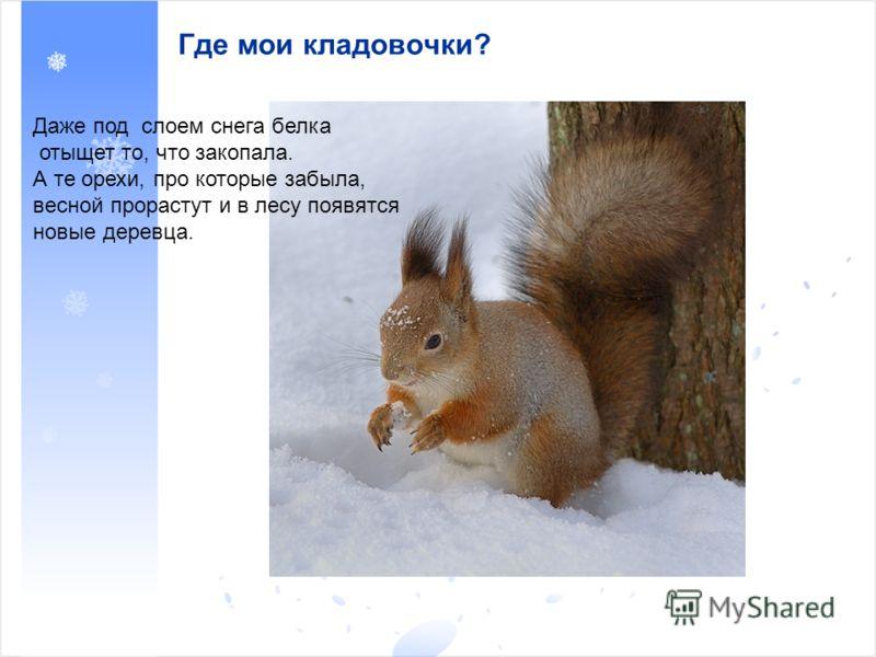 Где мои кладовочки? Даже под слоем снега белка отыщет то, что закопала. А те орехи, про которые забыла, весной прорастут и в лесу появятся новые деревца.