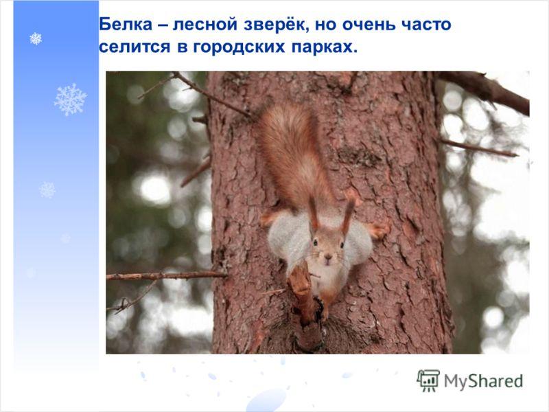 Белка – лесной зверёк, но очень часто селится в городских парках.
