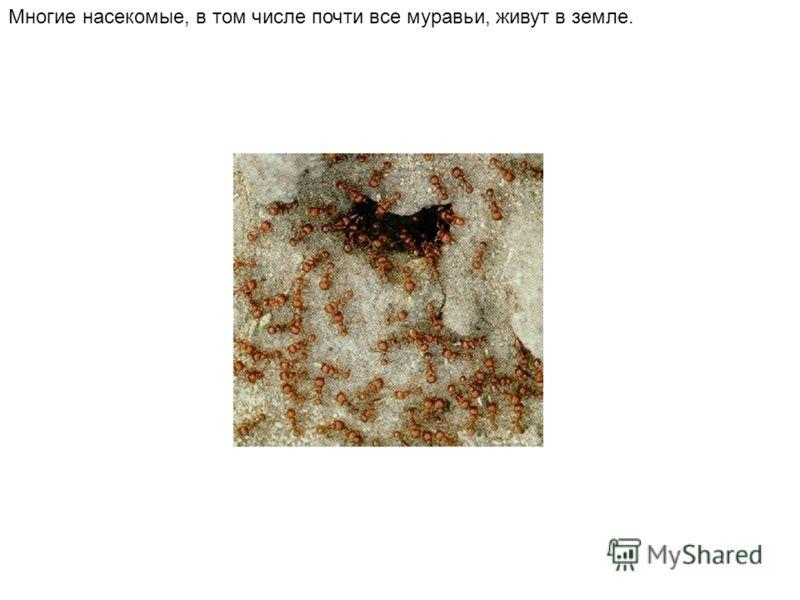 Многие насекомые, в том числе почти все муравьи, живут в земле.