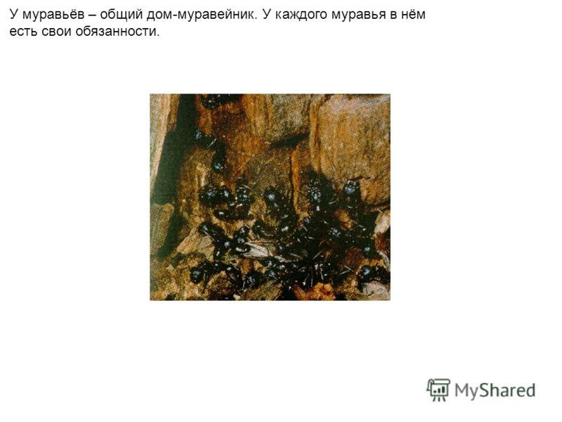 У муравьёв – общий дом-муравейник. У каждого муравья в нём есть свои обязанности.