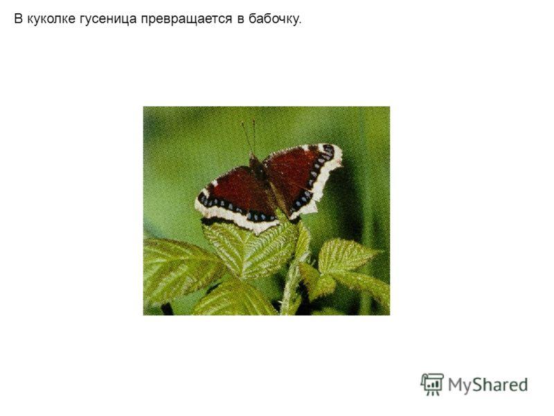 В куколке гусеница превращается в бабочку.