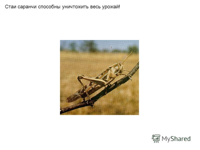 Стаи саранчи способны уничтожить весь урожай!