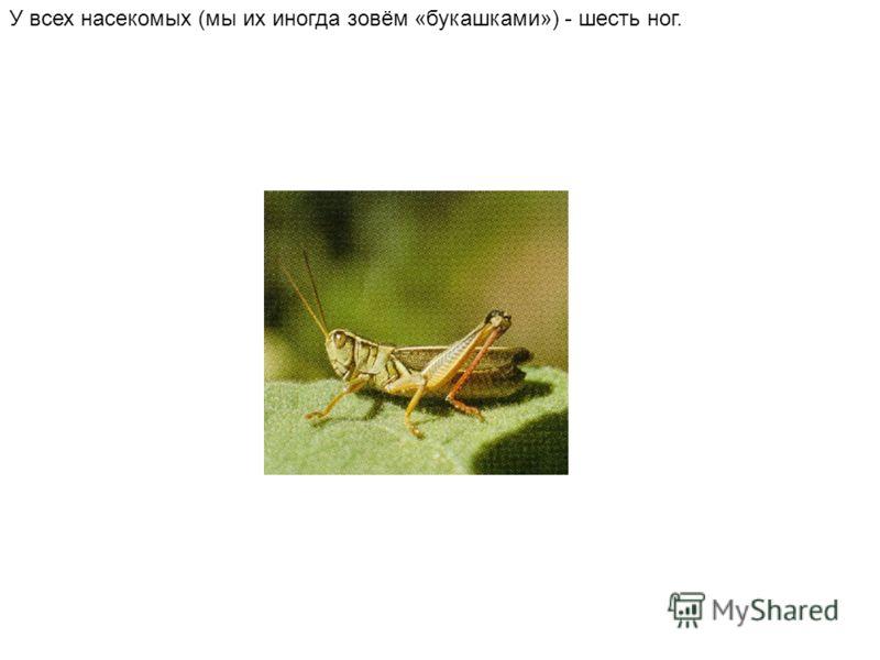 У всех насекомых (мы их иногда зовём «букашками») - шесть ног.