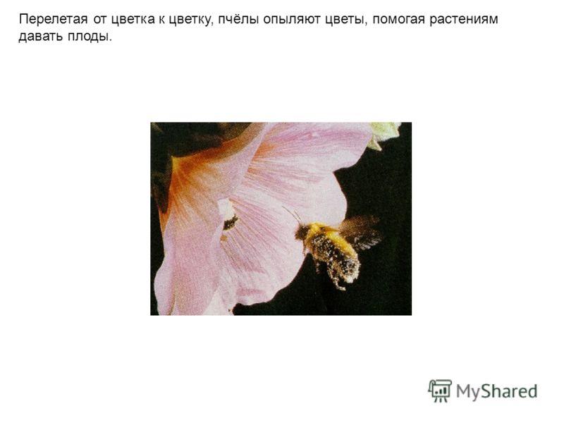 Перелетая от цветка к цветку, пчёлы опыляют цветы, помогая растениям давать плоды.