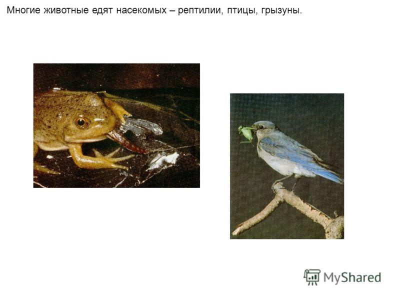 Многие животные едят насекомых – рептилии, птицы, грызуны.
