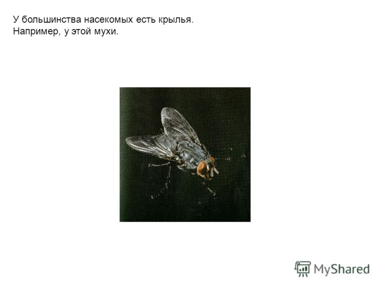 У большинства насекомых есть крылья. Например, у этой мухи.