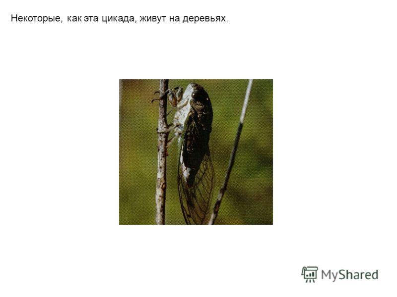 Некоторые, как эта цикада, живут на деревьях.