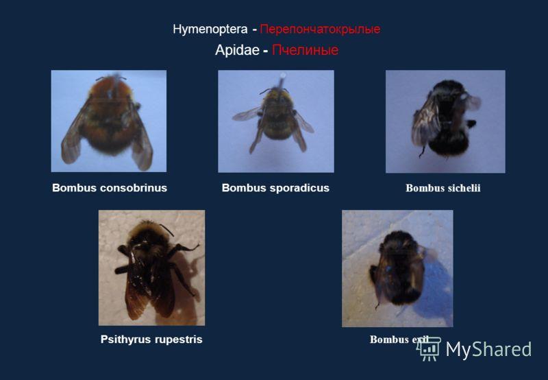 Hymenoptera - Перепончатокрылые Apidae - Пчелиные Bombus exil Psithyrus rupestris Bombus consobrinusBombus sporadicus Bombus sichelii