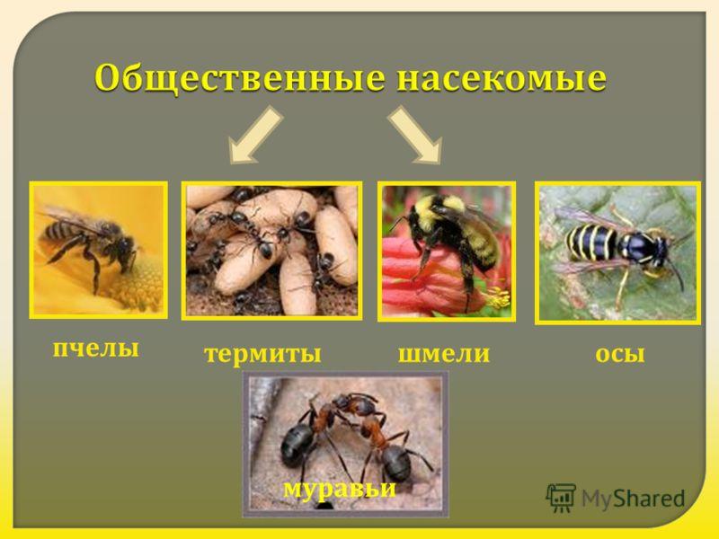 Общественные насекомые пчелы термитышмелиосы муравьи