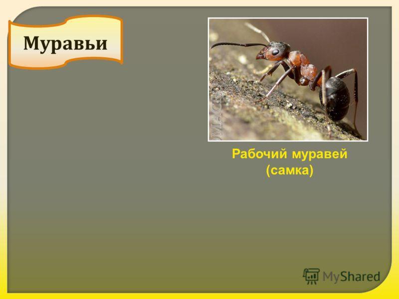 Реферат конспект на тему серые лесные муравьи урок биологии