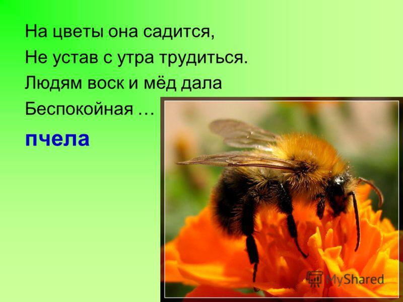 На цветы она садится, Не устав с утра трудиться. Людям воск и мёд дала Беспокойная … пчела