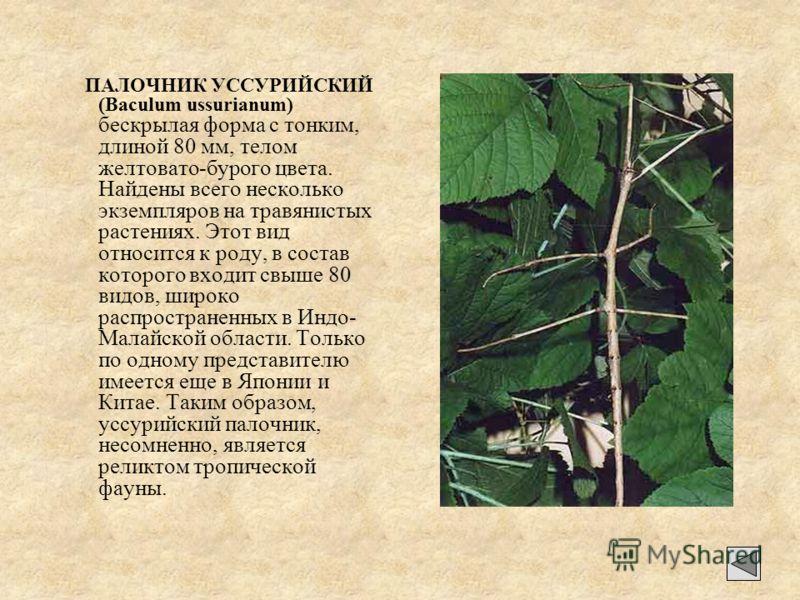 ПАЛОЧНИК УССУРИЙСКИЙ (Baculum ussurianum) бескрылая форма с тонким, длиной 80 мм, телом желтовато-бурого цвета. Найдены всего несколько экземпляров на травянистых растениях. Этот вид относится к роду, в состав которого входит свыше 80 видов, широко р