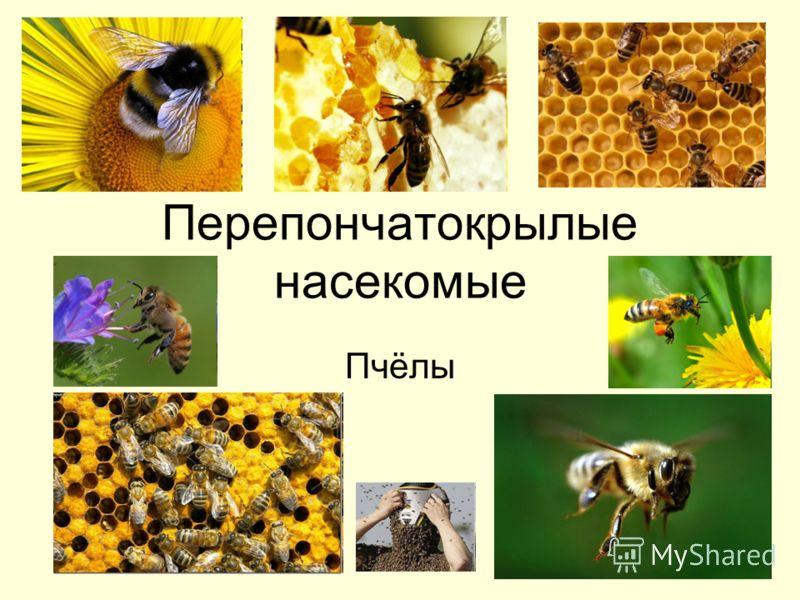 Перепончатокрылые насекомые Пчёлы