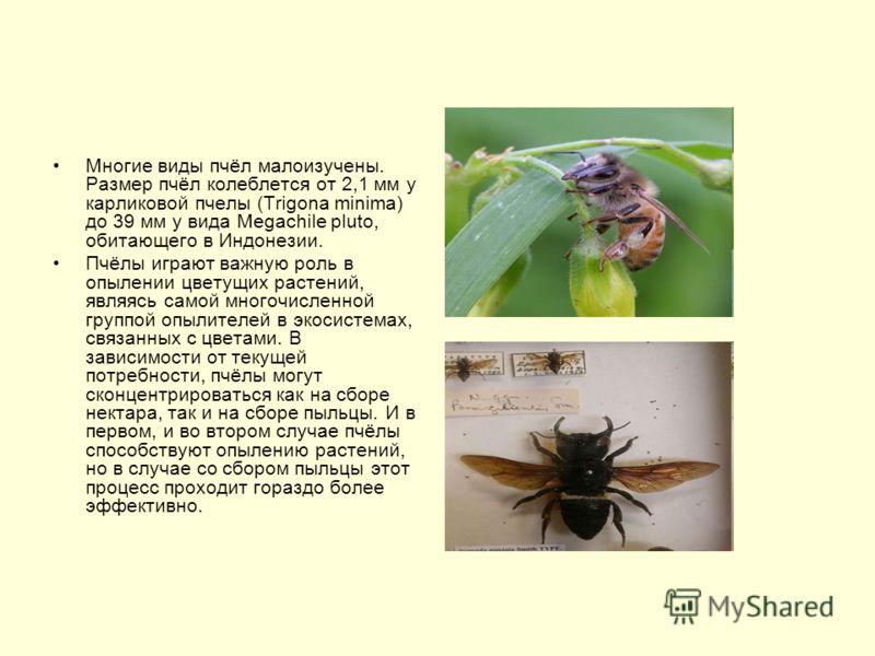 Многие виды пчёл малоизучены. Размер пчёл колеблется от 2,1 мм у карликовой пчелы (Trigona minima) до 39 мм у вида Megachile pluto, обитающего в Индонезии. Пчёлы играют важную роль в опылении цветущих растений, являясь самой многочисленной группой оп